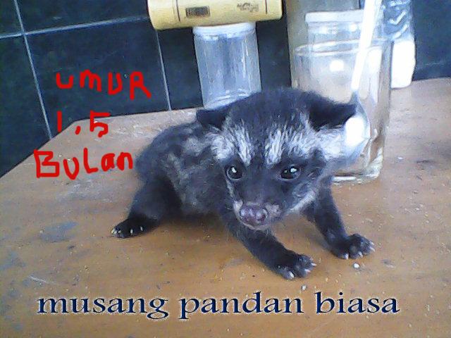 Jual Musang Murah Faniapetshop
