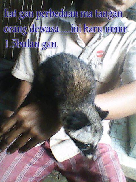 Musang Pandan Faniapetshop