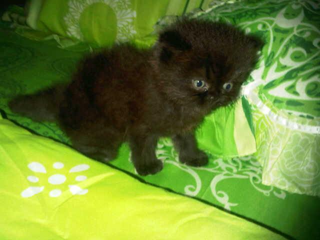 Kucing Persia Flatnose Dan Peaknose Faniapetshop
